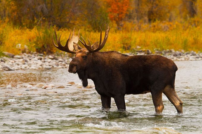 Aqua Moose A bull moose crosses the Gros Ventre River in Grand Teton National Park.
