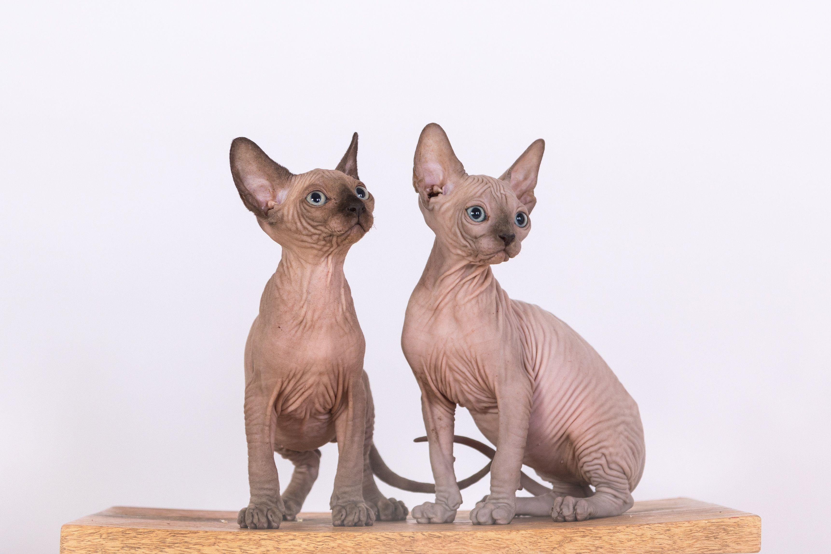 Sphynx Kittens, Staten Island, NY 10305 SphynxCats