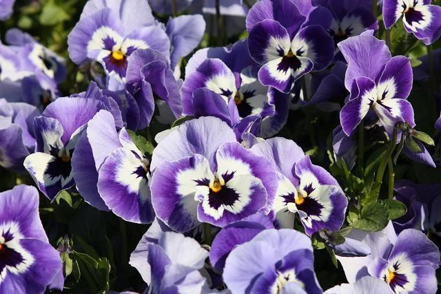 50 Seeds Joker Light Blue Pansy