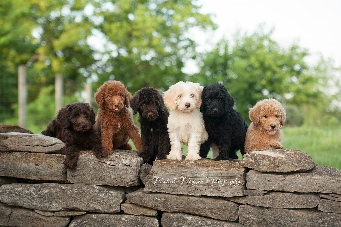 Pin by greenfield puppies on puppies pinterest labradoodle dog
