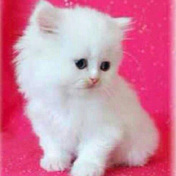 Miniature Persian Cat Love It Persian Kittens Teacup Persian Kittens Kittens Cutest