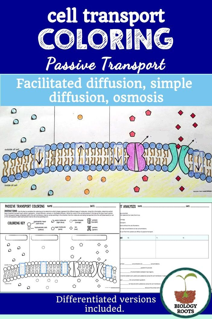 Homeostasis And Cell Transport Skills Worksheet Answers ...