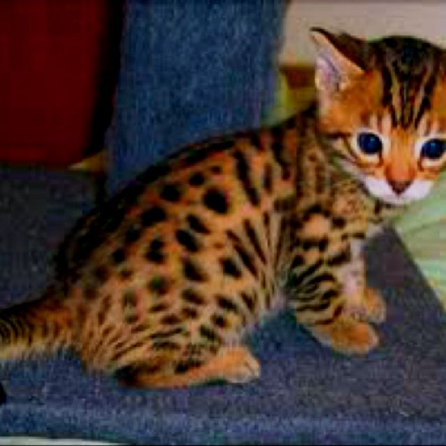 Pin By Jen Dillis On What I Need In A House I Can T Afford Bengal Kitten Kitten Adoption Kittens Cutest