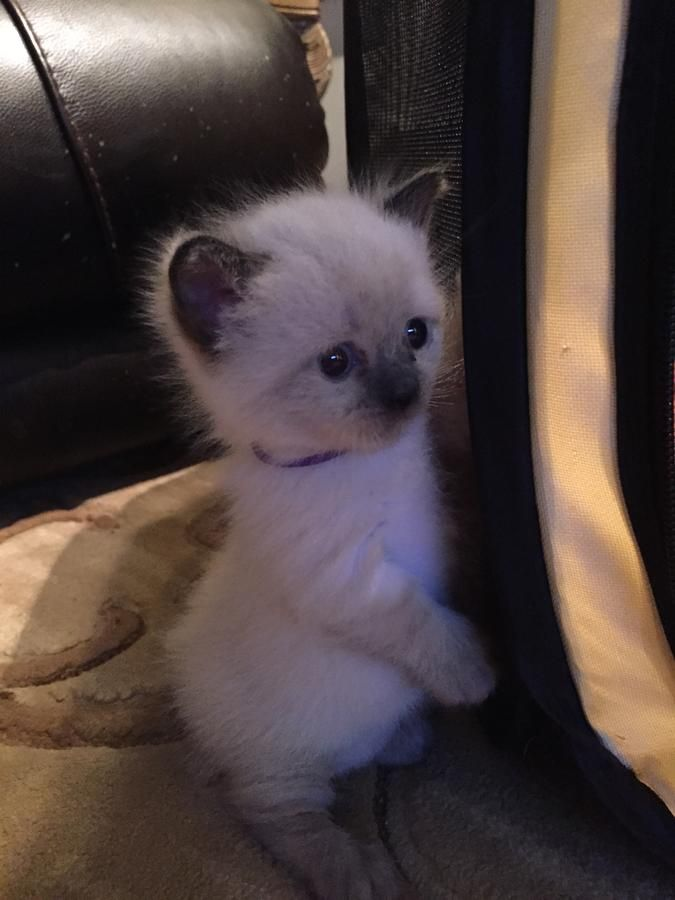 Adorable Seal Pointed Female Rug Hugger Munchkin Napoleon Kitten Ready For  New Forever Home In Warren