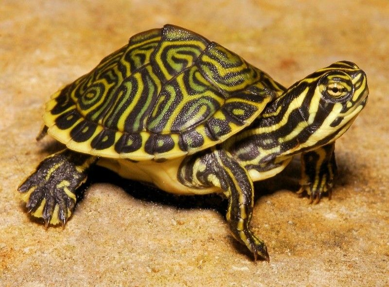 florida cooter turtle - Google Search | JS Animals ...