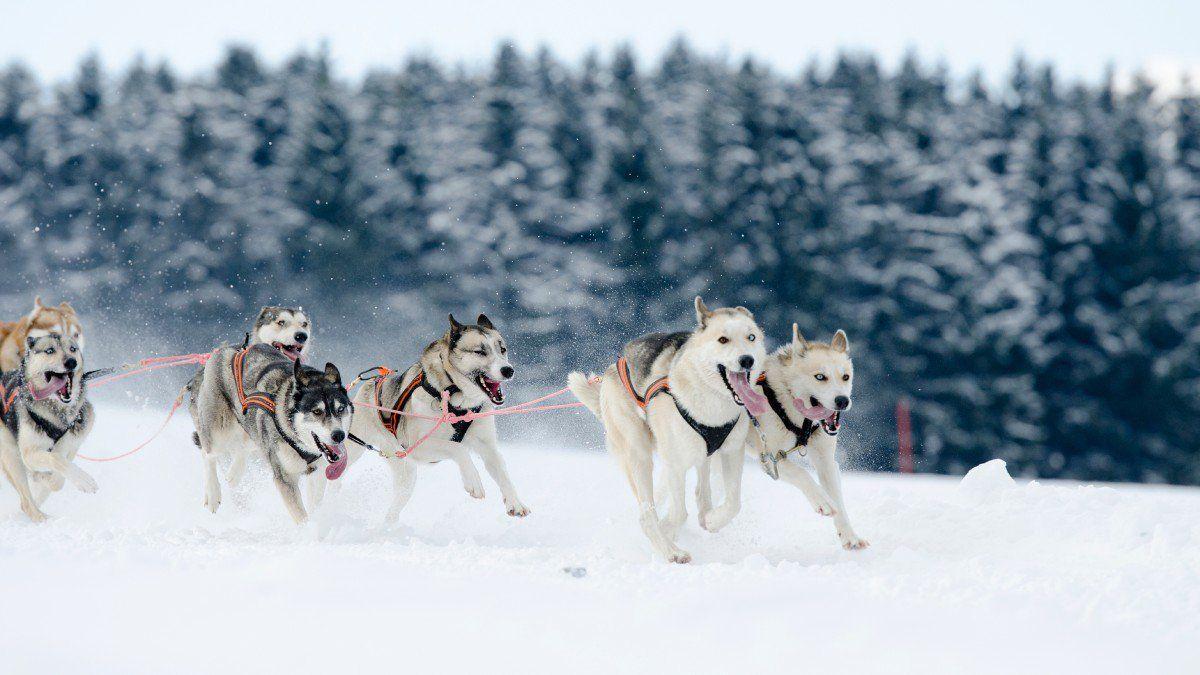 How To Train A Sled Dog Team Basic Dog Training Dog Training