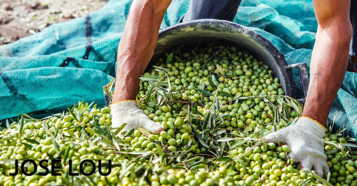 Como preparar las aceitunas recien cosechadas