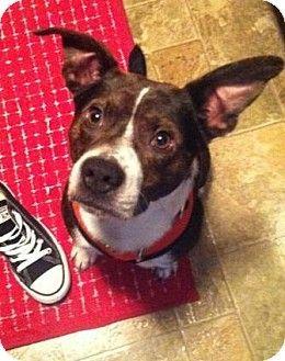 Comet Nashville Tn Beagle American Staffordshire Terrier Mix