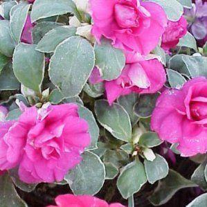 Impatiens walleriana 39 flore pleno 39 nombre popular alegr a de la casa flor doble tipolog a - Planta alegria de la casa ...