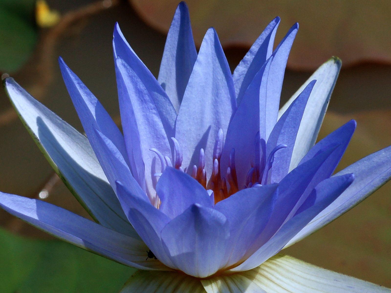 Fleur De Lotus Bleu True Blue Blue Lotus Lotus Nelumbo Nucifera