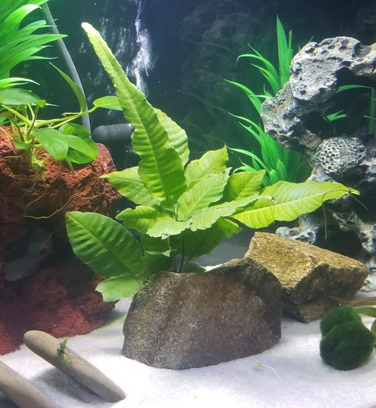Top Fin El Nino Fern Live Plants Plants Plant Leaves