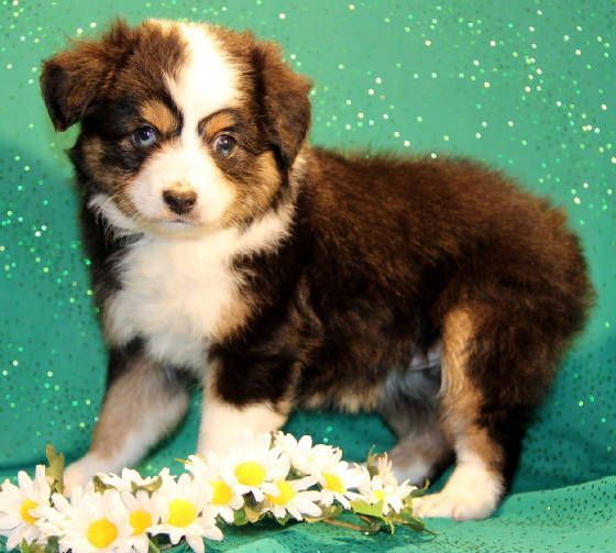 Toy Mini Australian Shepherd Pups For Sale Co Tug Yurhart Australian Shepherd Mini Australian Shepherds Miniature Australian Shepherd Puppies