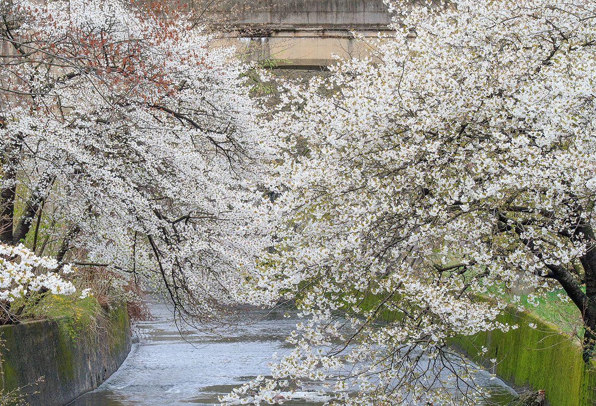 Branch Brook Park Cherry Blossom Festival 2019 Spring Photography Cherry Blossom Blossom Trees
