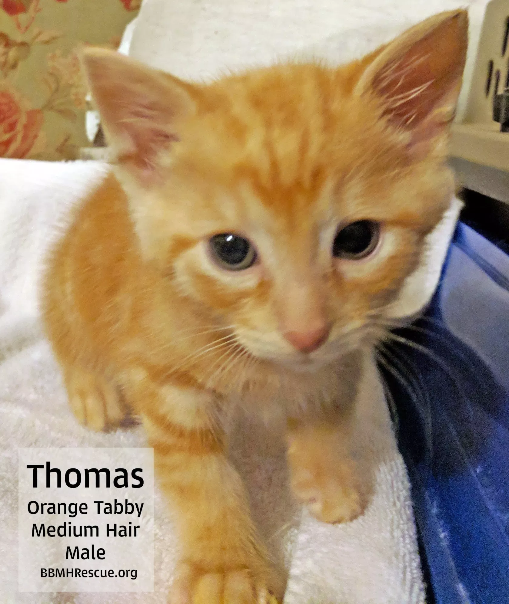 Meet Orange Tabby Rescue Kittens From Perris Ca Available For Cat Adoption Bbmhr Cat Adoption Kitten Rescue Tabby Kitten Orange