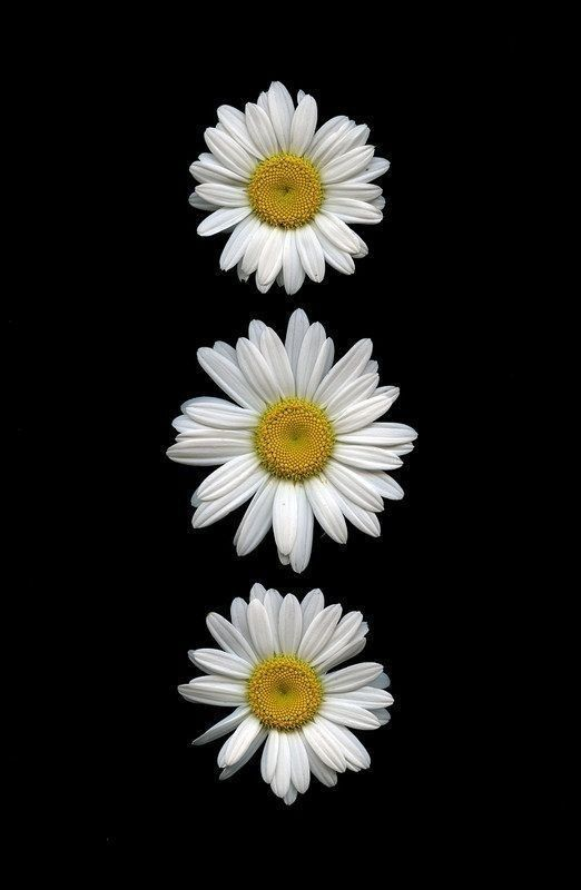 Linda's Favorite Daisy wallpaper, Flower phone wallpaper
