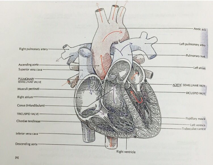 Parts of the heart , most important parts are : artia, ventricles ...