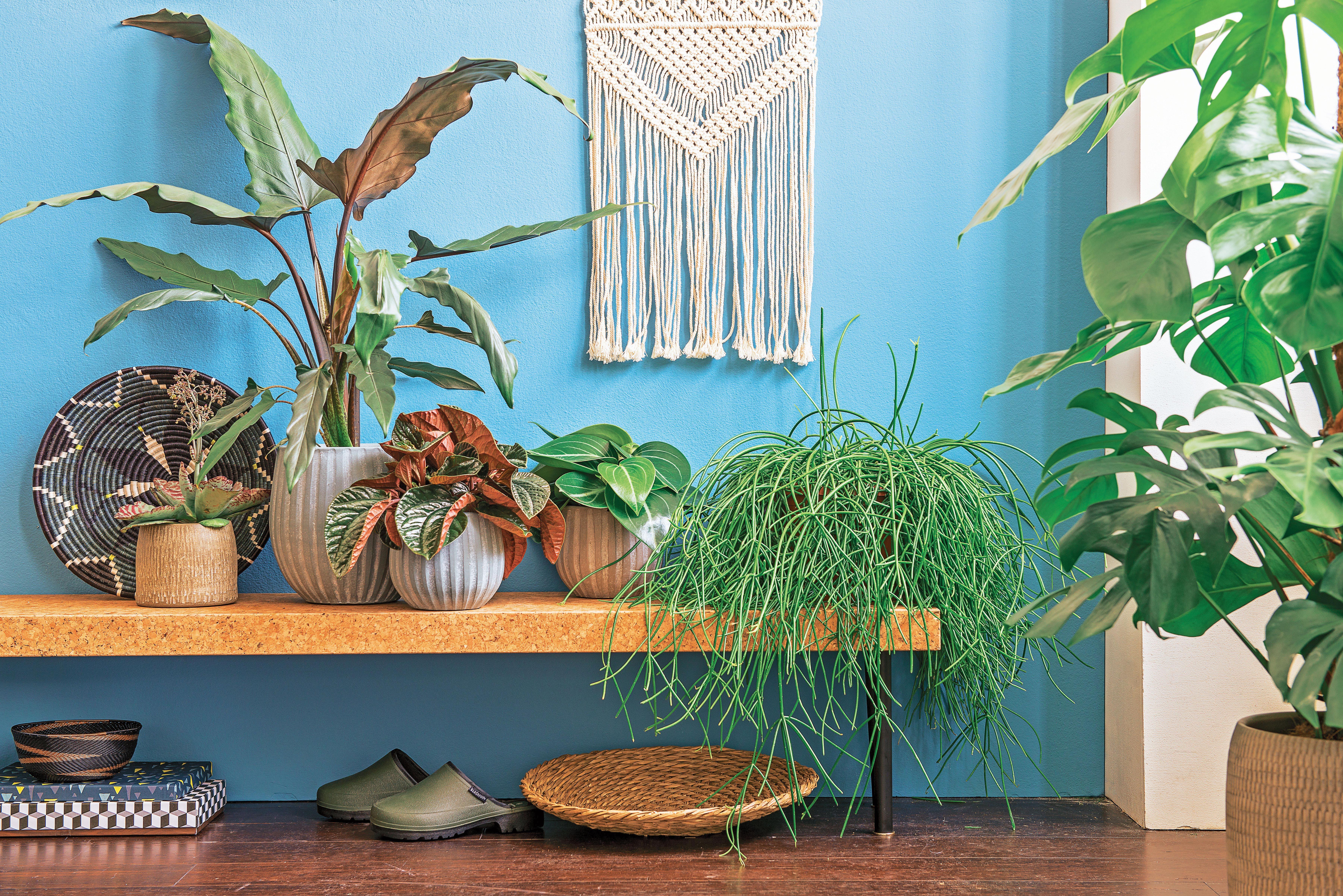 Alocasia Lauterbachiana Hauteur 95 Cm Pot Diametre 19 Cm With Images Plants Garden