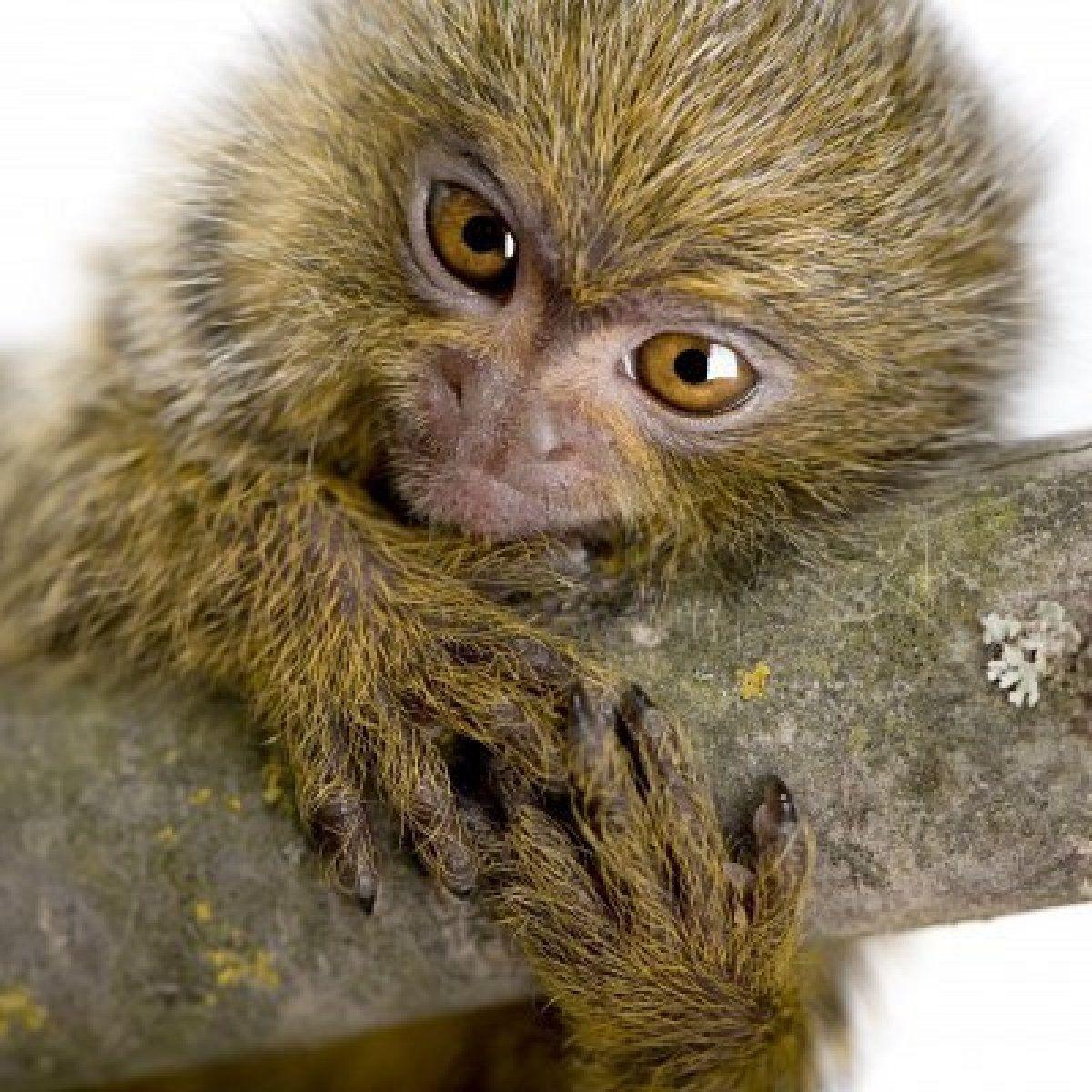 Stock Photo Pygmy Marmoset Mammals Marmoset Monkey