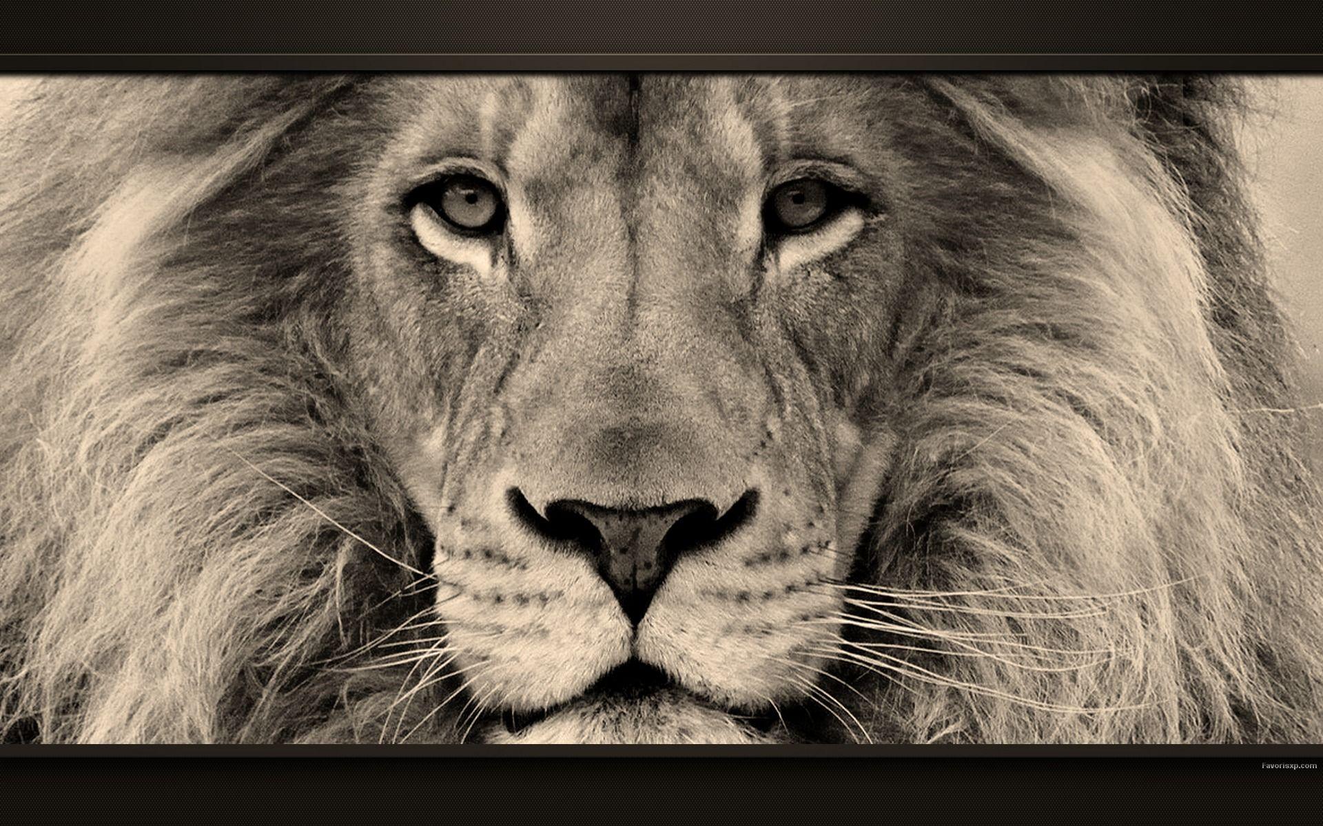 portrait de lion fauves pinterest images animaux. Black Bedroom Furniture Sets. Home Design Ideas