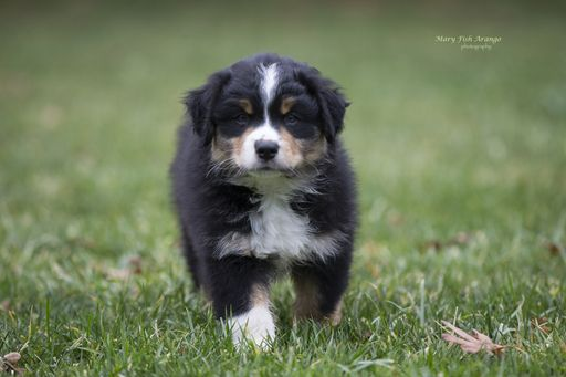 Litter Of 5 Australian Shepherd Puppies For Sale In Medford Or