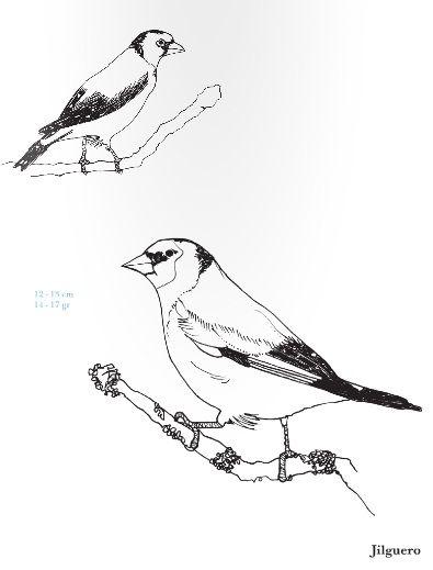 Jilguero. Carduelis carduelis. Rara Avis, Pequeña guía de aves para ...