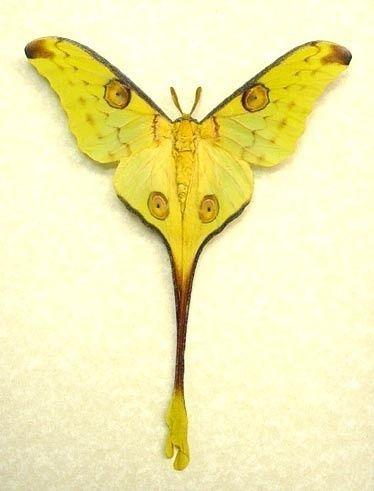Https S3 Amazonaws Com Data Tumblr Com Tumblr Mb0gipdcvf1rw6hhbo1 400 Jpg Moon Moth Moth Beautiful Butterflies