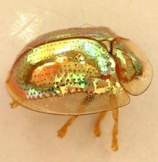 Golden Tortoise Beetle Charidotella Sexpunctata Tortoise Beetle Beautiful Bugs Beetle
