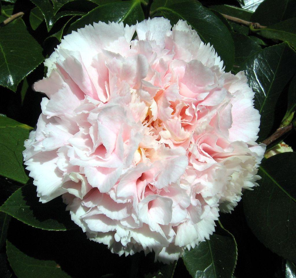 Camellia Flower Hawaii Camellia Flower Camellia Unusual Flowers