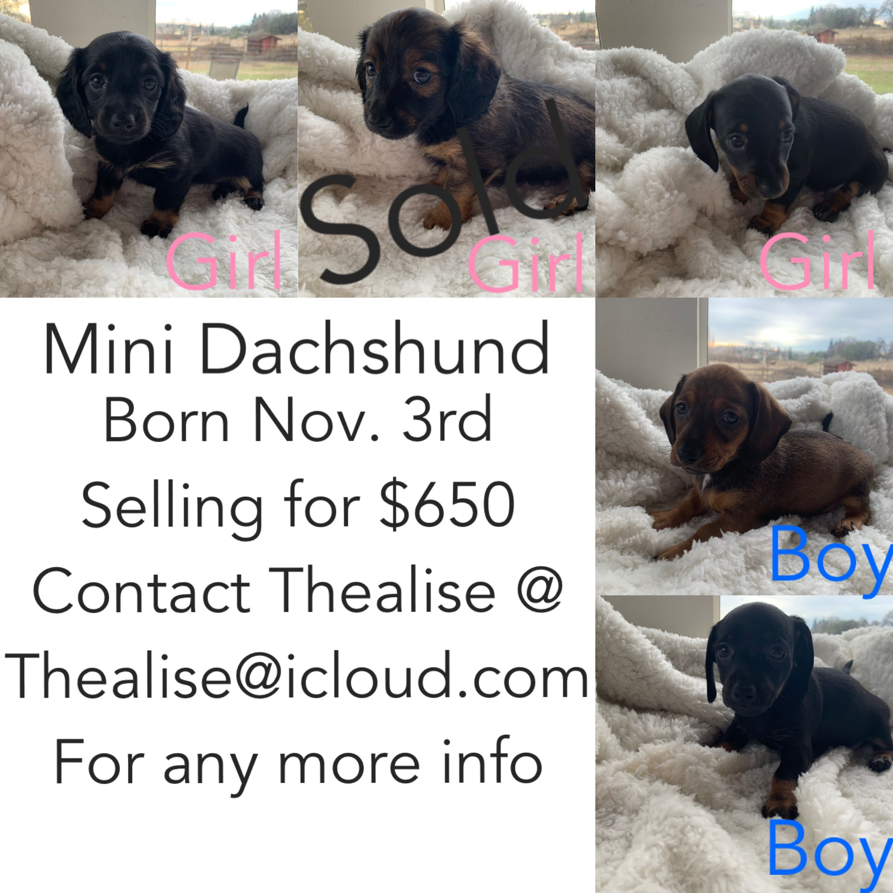 Pin By Corina Wager On Mini Dachshund Puppies For Sale Sacramento