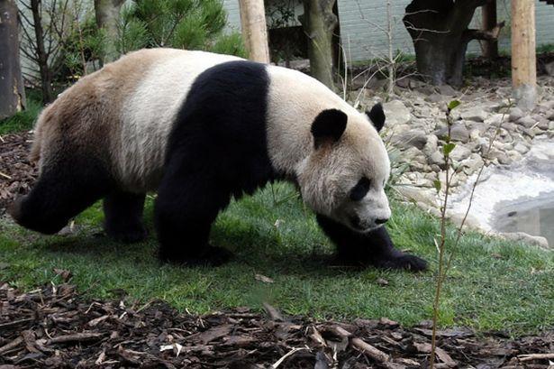 Male Panda Yang Guang At Edinburgh Zoo In Scotland 615 409 Panda Panda Bear Edinburgh Zoo