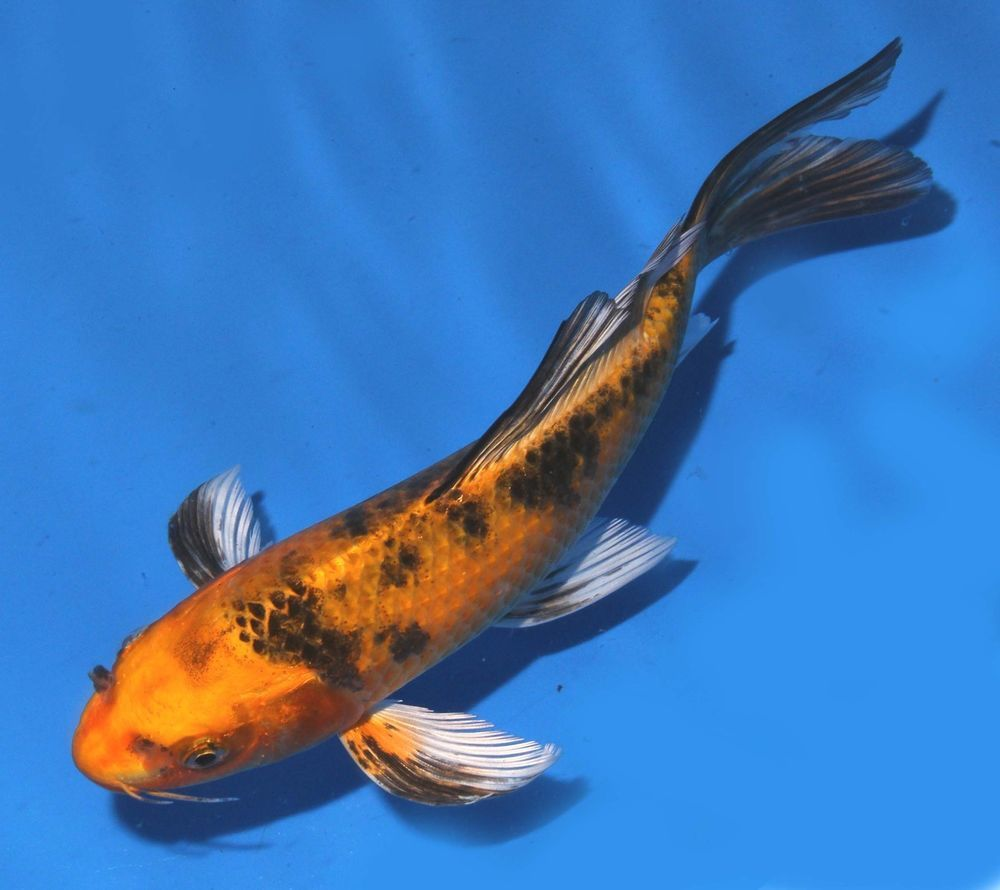 Live Koi Fish 6 8 Yellow Ki Bekko Butterfly Long Fin Koibay