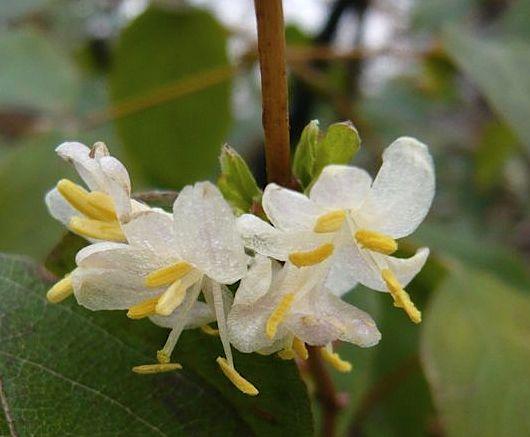 LONICERA FRAGRANTISSIMA - Lage struikkamperfoelie winterbloeiende struik. De hoogte na 10 jaar is 150 cm. De bloemkleur is wit. Deze plant is zeer winterhard. De bloeiperiode is februari - maart.