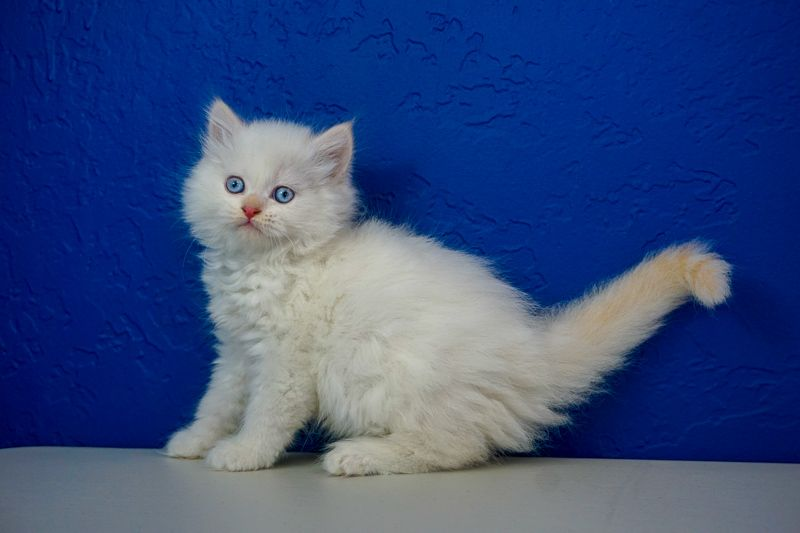 Ragamuffin Kittens for Sale Buy Ragamuffin Kittens