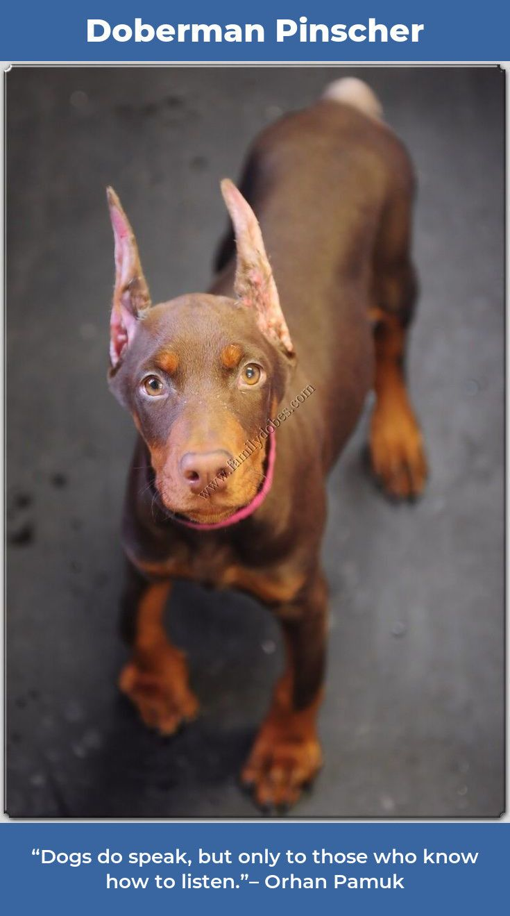 Doberman Pinscher Dobermandogs Dobermanpinscher Doberman