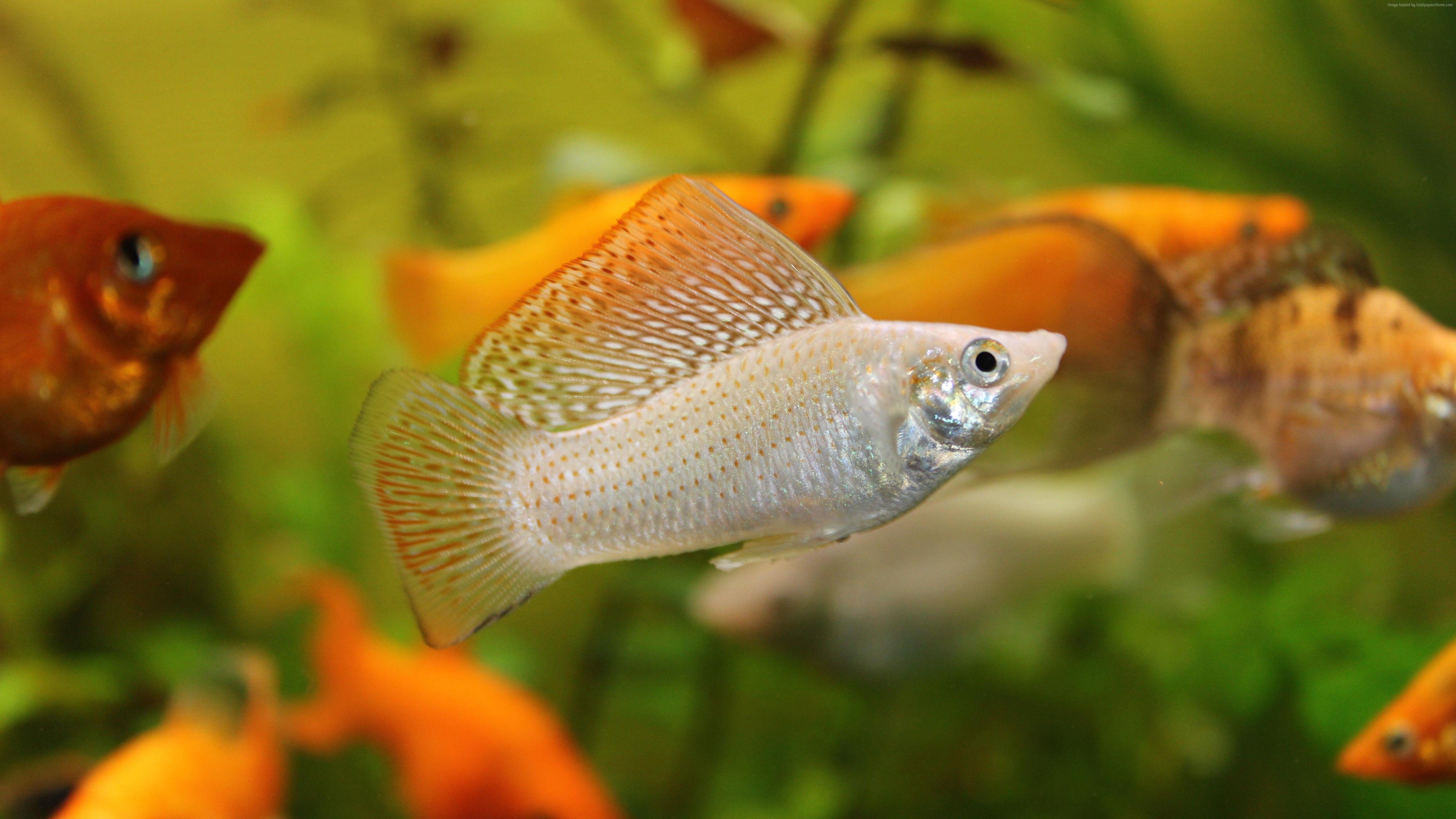 Mollienesia Fish Aquarium Water 5k 5k Aquarium aquaticecosystem