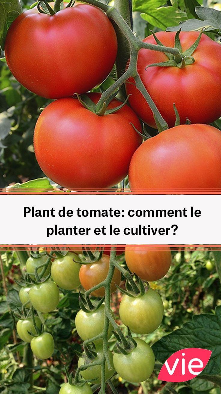 Plant De Tomate Comment Le Planter Et Le Cultiver Planter