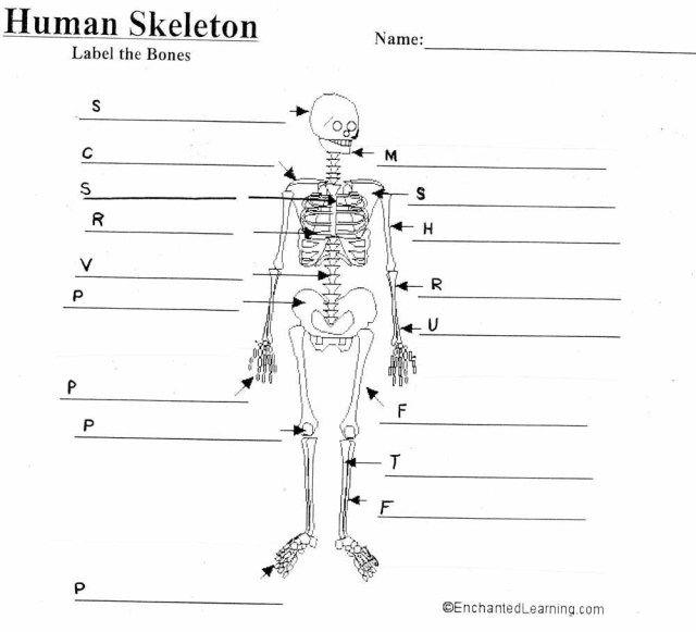 human skeleton diagram with labels   human skeleton diagram with labels  diagram of skeleton to label