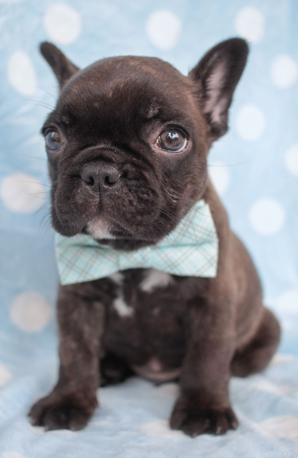 Frenchie Puppy For Sale In South Florida Puppies Bulldog