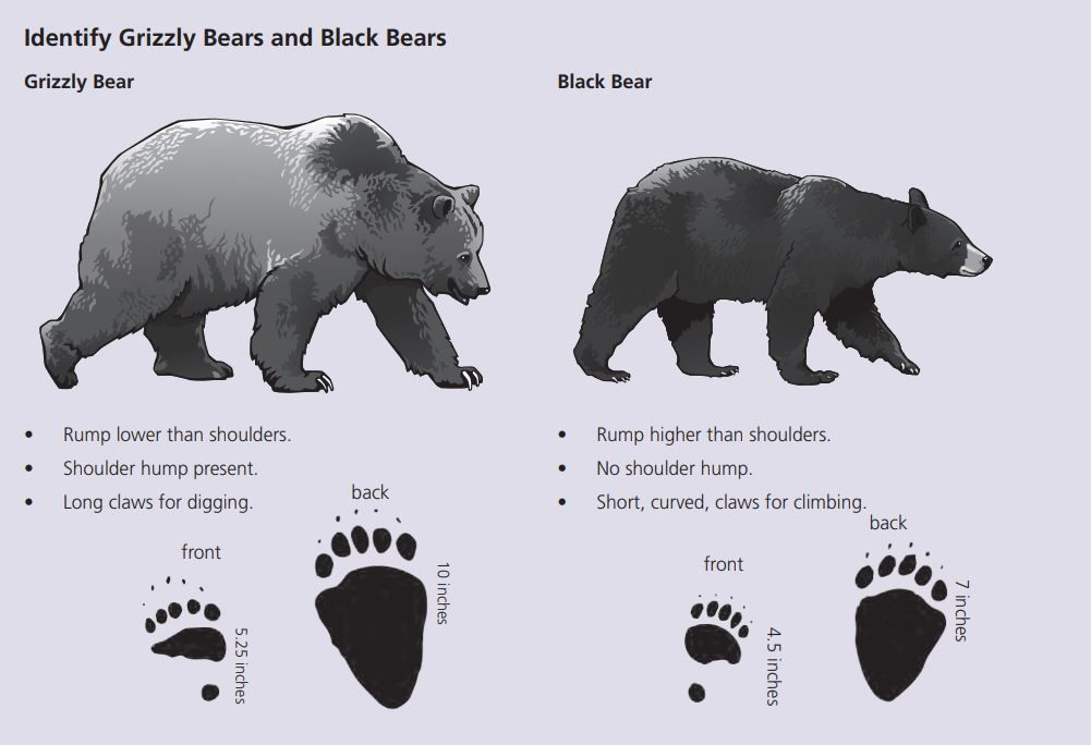 How To Identify Grizzly And Black Bears Yellowstone Forever Black Bear Grizzly Bear