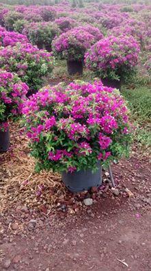 Bugambilia arbusto vivero la flor de morelos plantas for Viveros de plantas de ornato