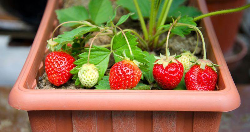 des fruits cultiver en pots pas besoin de jardin fraisiers pinterest. Black Bedroom Furniture Sets. Home Design Ideas