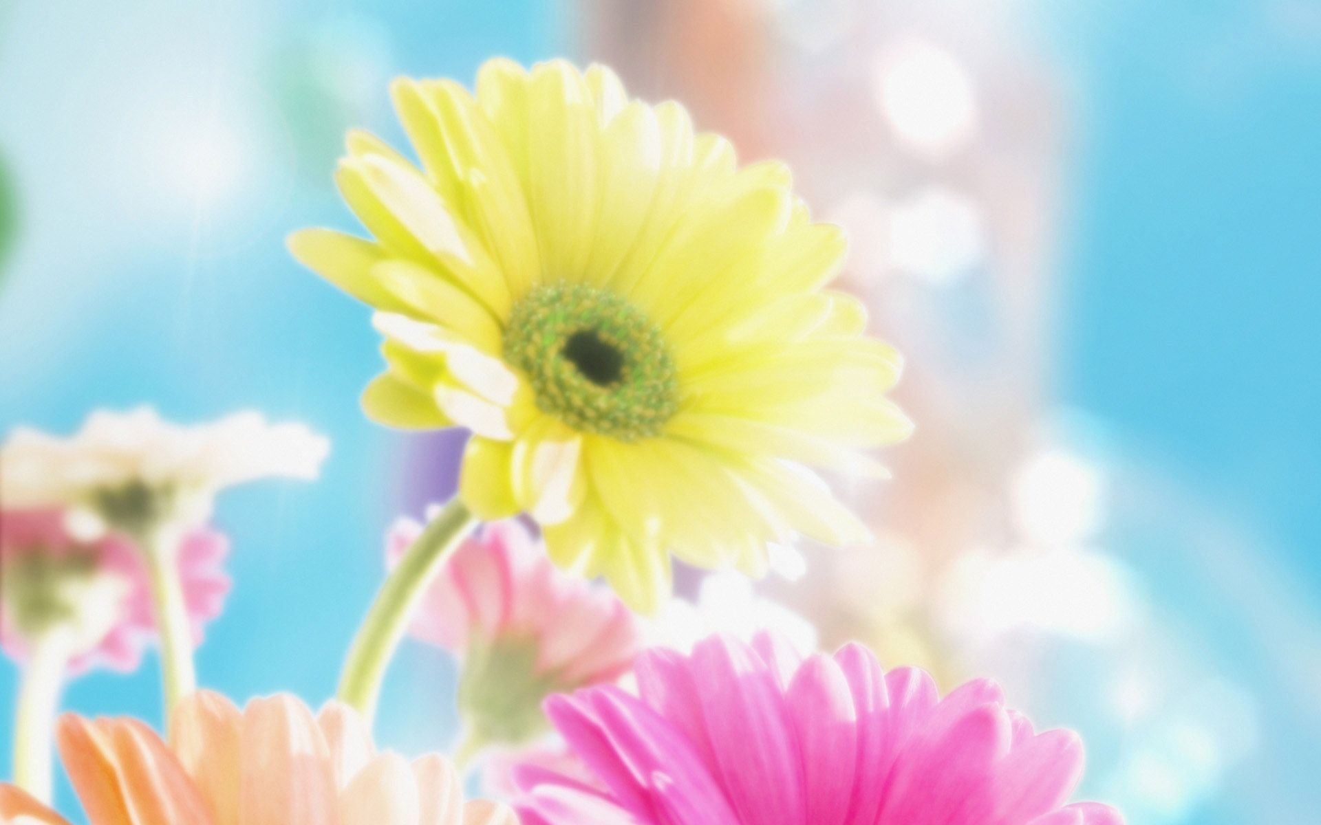 Colour Beauty Gerbera Flower Flower Wallpaper Spring Wallpaper Flowers