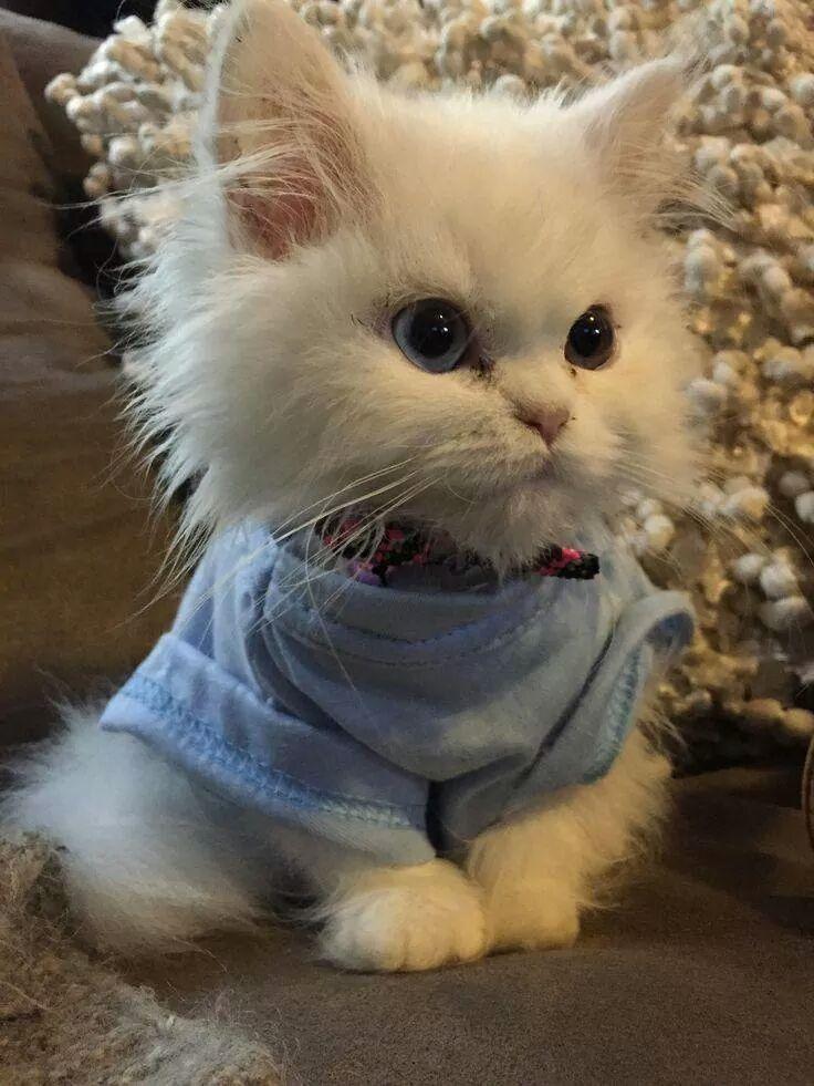 Just a fluffy kitten wearing a sweater. Cute animals