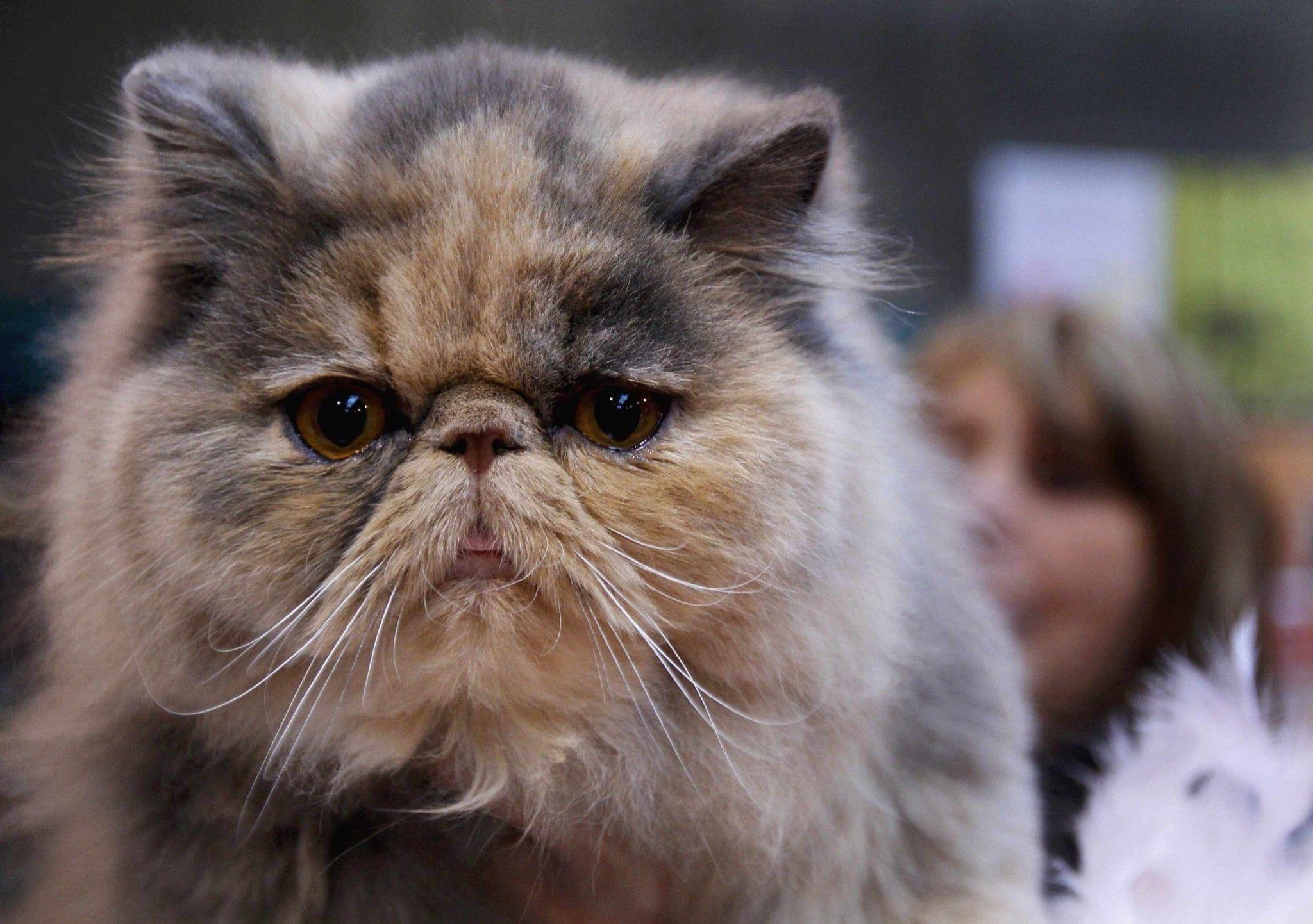 when the pain meds aren't working Cat breeds, Modern cat