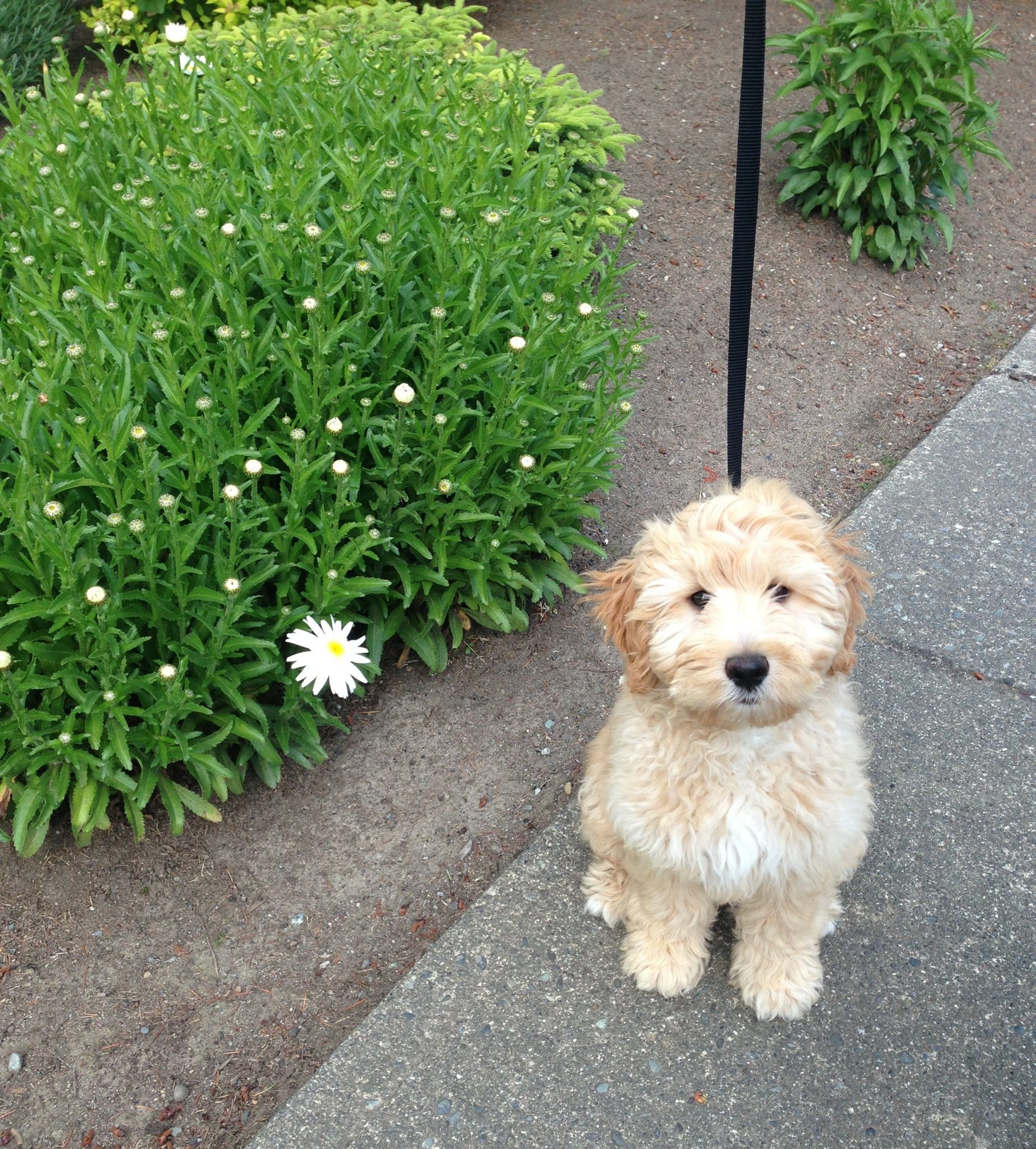 My Labradoodle Labradoodle Puppies And Kitties Poodle Mix