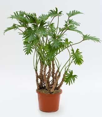 Grote groene kamerplanten chicplants bloemen en for Grote kamerplanten