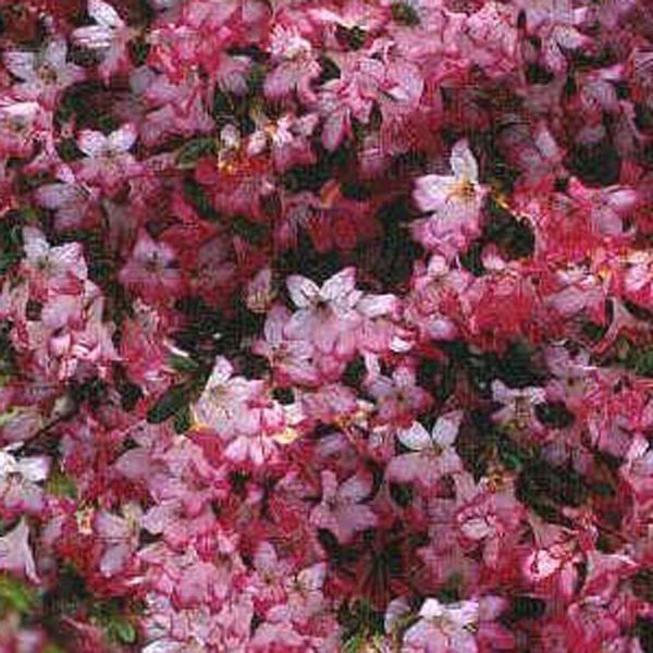 Japanese Azalea Japonica Izumi No Mai Evergreen Hardy Azalea Buy Christmas Tree Buy Garden Garden Care