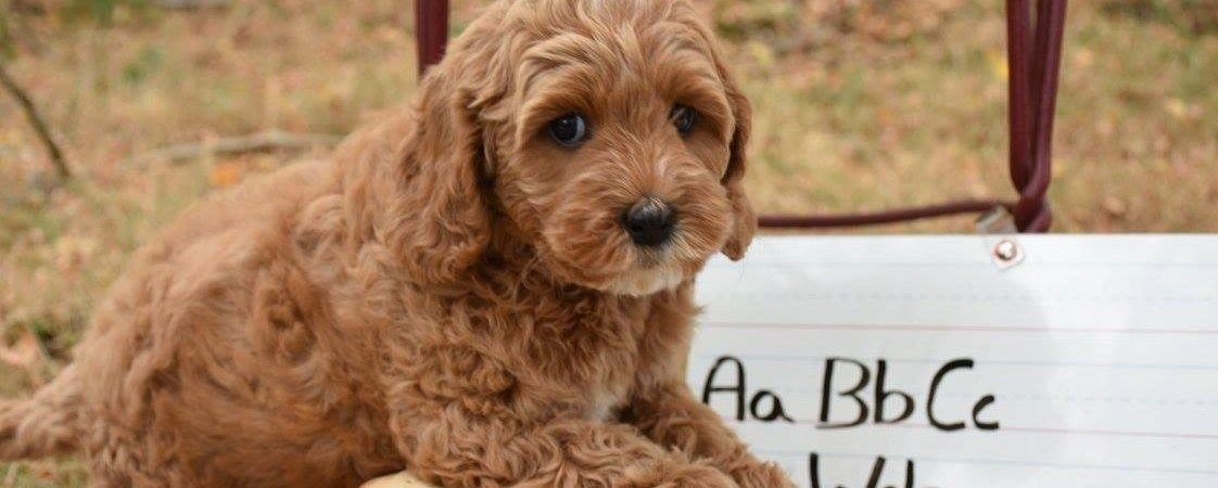 Pine Lodge Labradoodles Is An Australian Labradoodle Breeder
