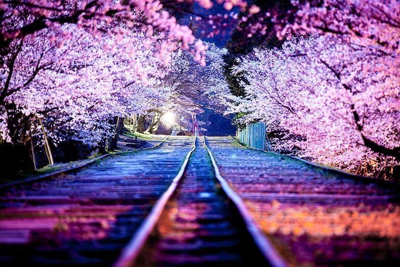 Flores De Cerezo Japonese