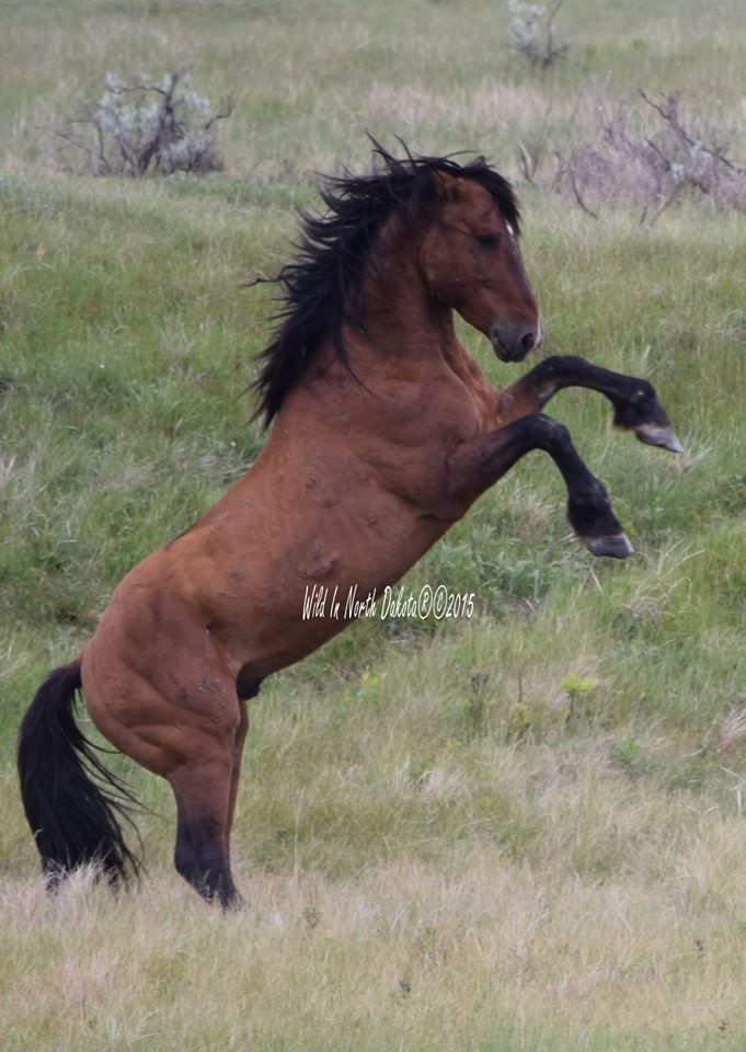 The proud and mighty Stallion Copper!! Wild horse mustang stallion chevaux sauvages